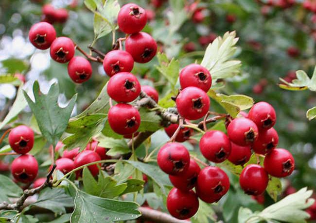 Hawthorn: Effective Herbal Remedy for Heart Failure