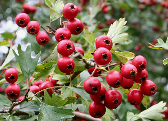 Hawthorn: Effective Herbal Remedy for Heart Failure_hawthorn