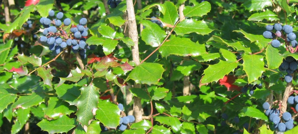 The Health & Beauty Benefits of Oregon Grape Root
