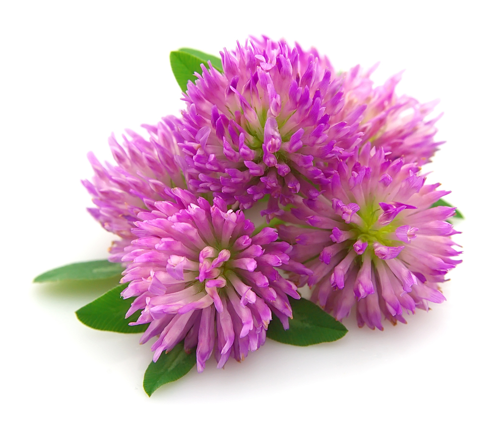 Red Clover for Health & Beauty