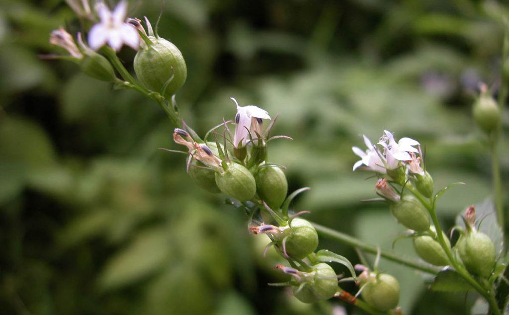 Health Benefits of Lobelia_Lobelia Inflata flowers