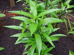 Justicia Gendarussa the Herbal Alternative to AZT_Justicia gendarussa