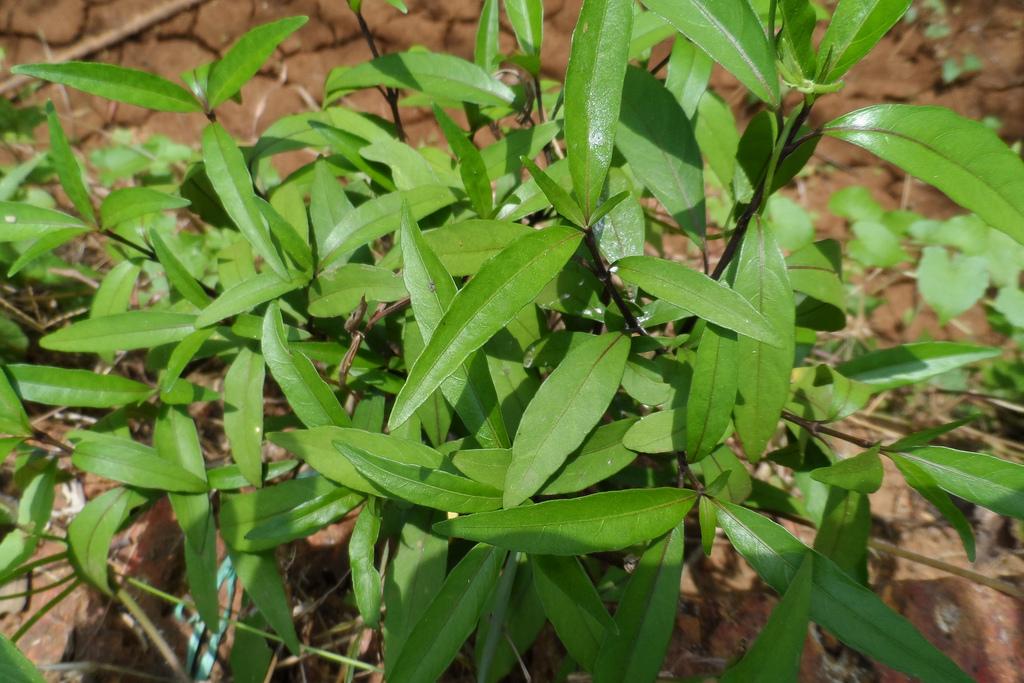 Justicia Gendarussa the Herbal Alternative to AZT?