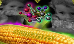 Why Do Some GM Crops Contain the Epicyte Gene_monsanto-gm-corn