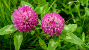 Blood Cleansing Herbs_red clover
