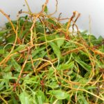 Blood Cleansing Herbs_sheep sorrel root